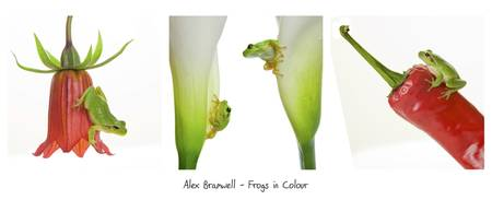 Frogs in Colour