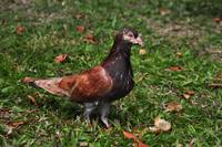 A Handsome Brown Pigeon