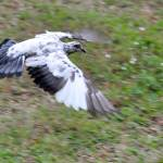 """Wings Spread Of White and Grey Grizzled Pigeon"" by streetraven"