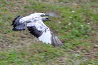 Wings Spread Of White and Grey Grizzled Pigeon