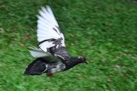 Grey Pigeon with White Wing Tips Flying Fast