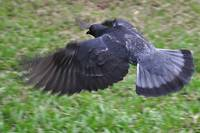 Grey Pigeon in Flight