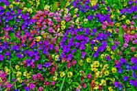 Purple Pink Yellow Flowers Bright Colors