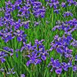 """Purple Flowers Fake HDR"" by brianyoung81"