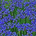 """Blue Purple Flowers Fake HDR"" by brianyoung81"