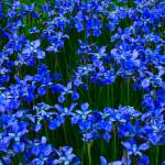 """Bright Blue Flowers"" by brianyoung81"