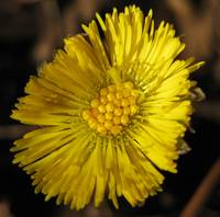 Wild Coltsfoot