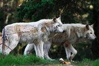 Twin Wolves