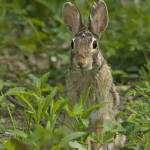 """Wild Cottontail Rabbit"" by birds2flight"