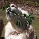 """""""Peru lama"""" by michellemorrisphotography"""
