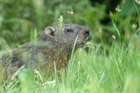 Curious Groundhog in Grassy Field