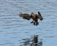 Double-crested Cormorant in Flight Landing in Lake