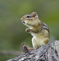 Eastern Chipmunk Sitting Up, with Stuffed Cheeks