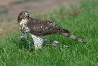 Sharp-shinned Hawk with Prey