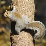 """Eastern Gray Squirrel Climbing Tree"" by birds2flight"