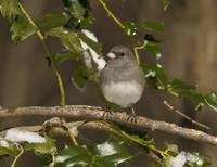 Dark-eyed Junco in Winter on Snow-covered Holly