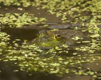 Frog in a Pond with Vegetation