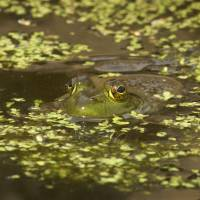 """Frog in a Pond with Vegetation"" by Brenda Jones"