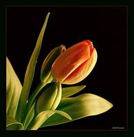 ...THE PRIMAVERA TULIPS...