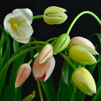 ...FESTIVE TULIPS ON EASTER DAY...