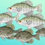 """Crappie School"" by fishfolkart"