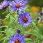 """Purple Asters"" by MichaelStephenWills"