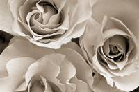 Three White Roses