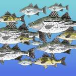 """White and Yellow Bass School"" by fishfolkart"