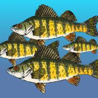 Yellow Perch Art Prints & Posters by Pat Brown