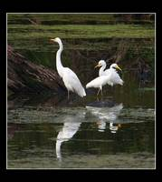 Intermediate and little egrets