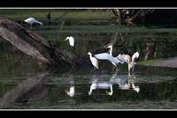 Egrets and an ibis
