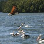 """Brahminy kite and pelicans"" by PhotographybyOdille"