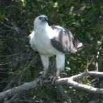 """White bellied sea eagle in tree, Tweed River, NSW"" by PhotographybyOdille"