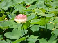 pink flower among lily pads