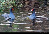 Moorhen Battle