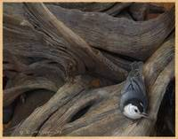 wooden world of the nuthatch