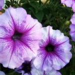 """""""Purple Petunias Closeup"""" by randomizedphotos"""