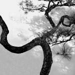 """Bending Pine"" by VAphotoart"