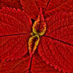"""Red Coleus"" by robhuntley"