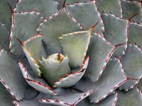 Red tipped agave
