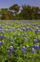 1DV530 Texas Bluebonnets by Jim Crotty