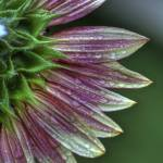 """""""Sunflower with Morning Dew"""" by jimcrotty"""
