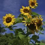 """""""Sunflowers 3V374"""" by jimcrotty"""