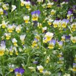 """Field of Pansy"