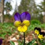 """Single Pansy"" by MorningStarPhotos"