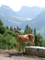Whitetail Deer on Logan Pass