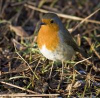 Robin In Winter At Arne Nature Reserve