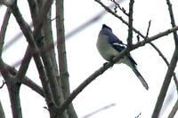 Blue Jay Turns