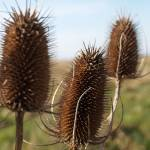 """Teasels in winter"" by mikeinfrance"