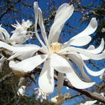 """Spring Art Prints Magnolia Tree Flower White Blue"" by BasleeTroutman"